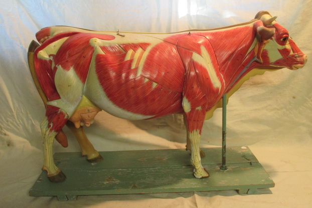 antique anatomical model cow muscular system